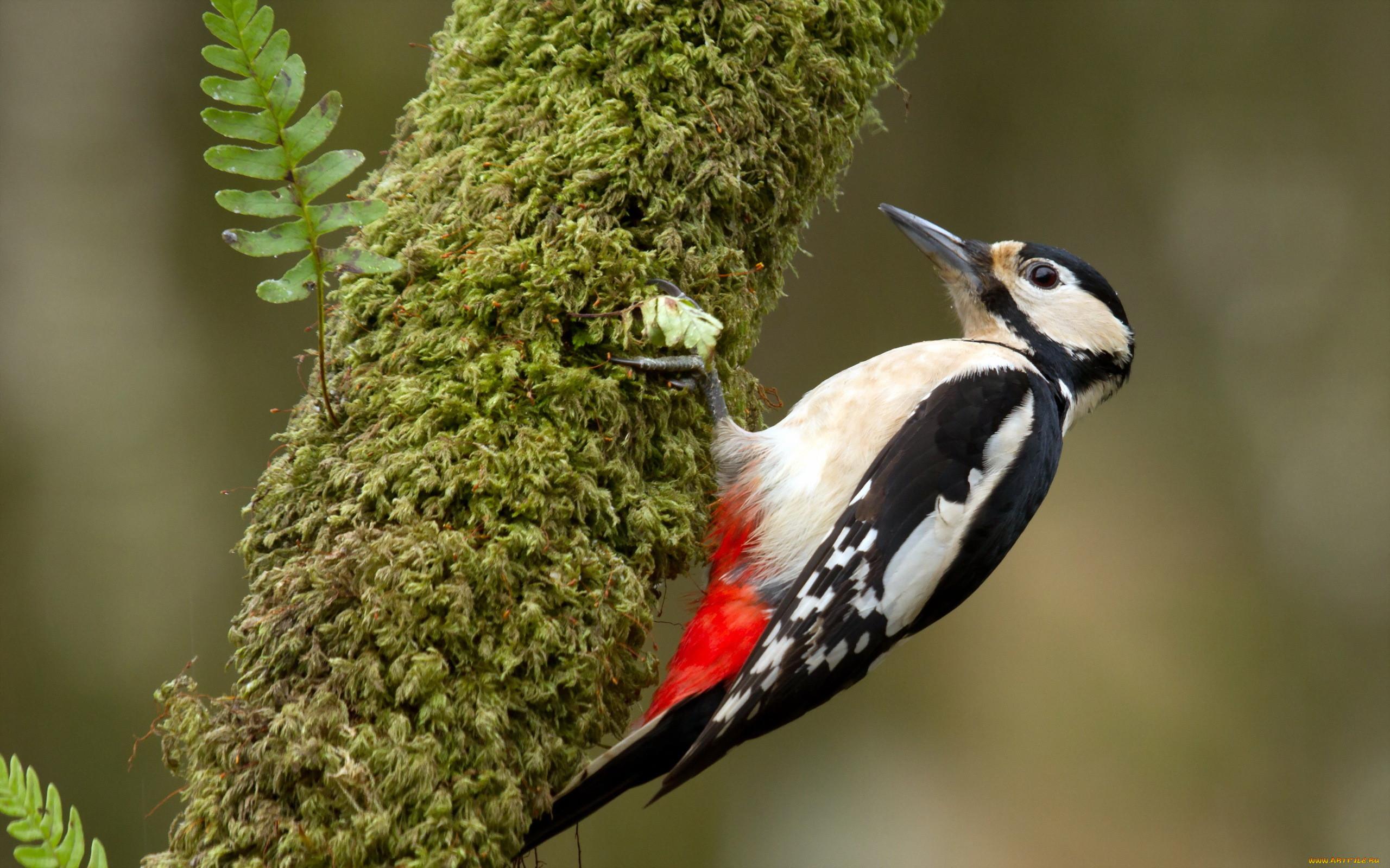 Обои Дятел, природа, птицa. Животные foto 10